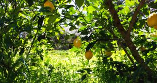 The Olive Press citrus oils