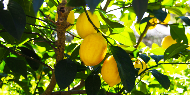 Olive Press citrus oil